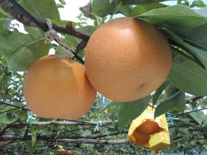 稲城の梨品種について