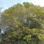 梨の木は電信柱より大きくなる