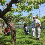 花粉樹接ぎ木作業